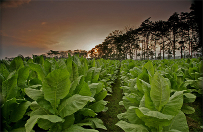 Ecuador Tobacco Field - Ernesto Perez-Carrillo